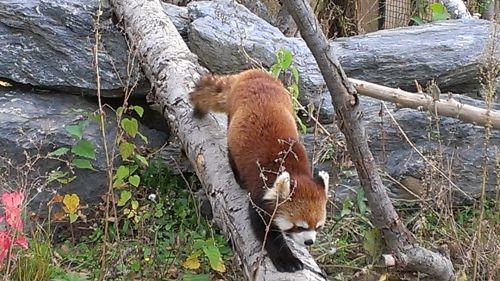 円山動物園にいたレッサーパンダ